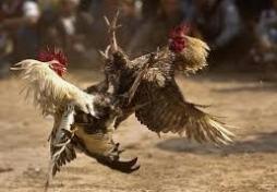Agen Sabung Ayam Terpopuler