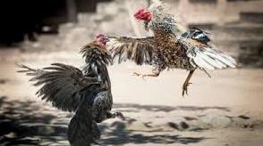 Bandar Situs Sabung Ayam